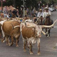 Stockyards Herd in Fort Worth, photo courtesy of Fort Worth Convention & Visitors Bureau.