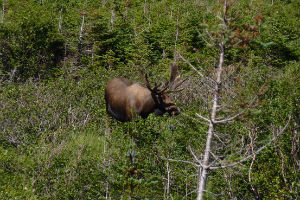 Moose in Gros Morne, photo credit Newfoundland and Labrador Tourism