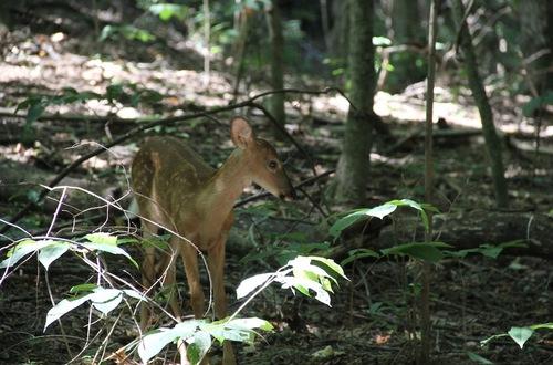Deer in Nashville