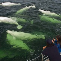 Watching Beluga Whales in Churchill, photo courtesy of Travel Manitoba