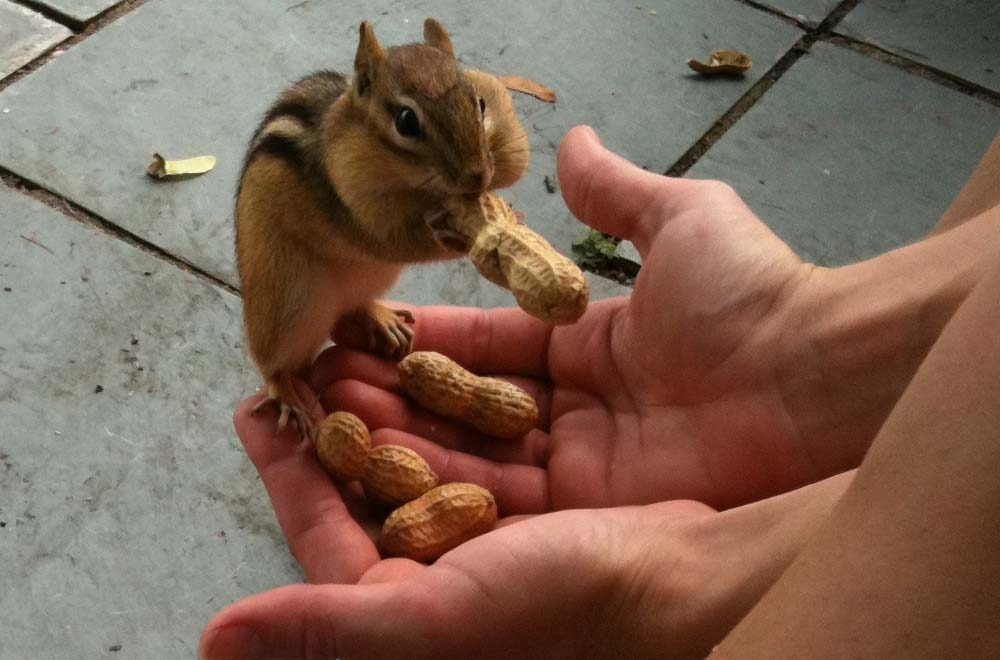 Chipmunks are nuts for Bolton Landing! – photo by Amy Pengra