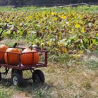 Yankey Farms Pumpkin Patch