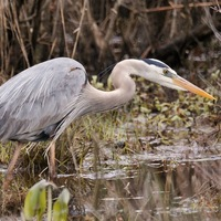 Blue Heron at Occoquan Bay National Wildlife Refuge by Stephen Little