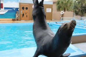 Sea Lion at Gulf World