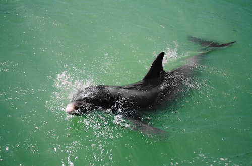 Bottle-Nosed Dolphins in Florida