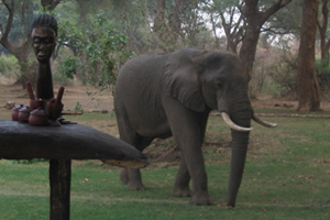 An elephant wandering into camp, photo by Mary Mihaly