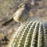 The birds can handle the cactus just fine, photo by Lola Augustine Brown