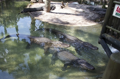 Alligator Farm