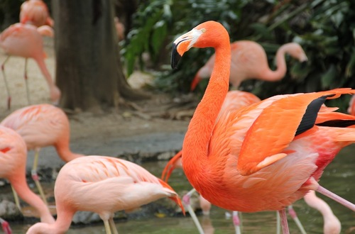 Flamingo at LA Zoo
