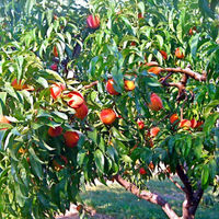 Peaches! by facebook.com/waltersfruit/